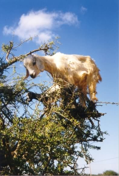 A goat in a tree