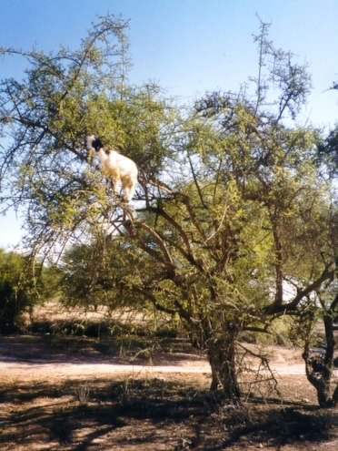 More goats in a tree!