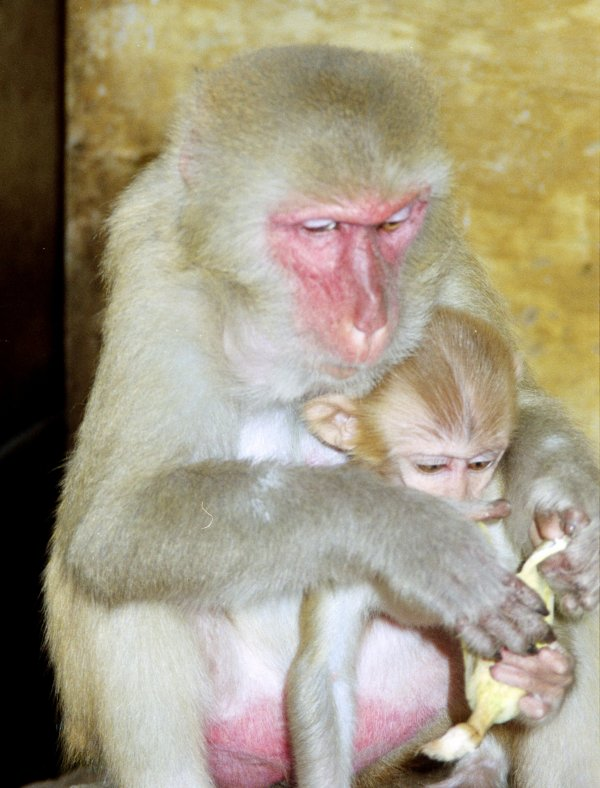 Mother feeding baby monkey